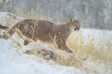 Mountain Lion over Deer Kill  Montana  Usa