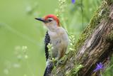 Red-Bellied Woodpecker Male in Flower Garden  Marion County  Illinois
