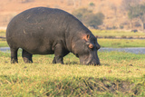 Botswana Chobe National Park Hippo Grazing Near the Chobe River