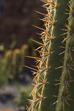 Spain  Canary Islands  Lanzarote  Guatiza  Cactus Plant Detail