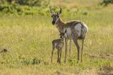 South Dakota  Custer State Park Pronghorn Doe and Fawn