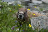 Colorado  American Basin  Yellow-Bellied Marmot Among Grasses and Wildflowers in Sub-Alpine Regions