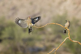Arizona  Buckeye Two Male Gila Woodpeckers on Dead Branch