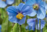 Iceland  Akureyri Blue Poppies in the Botanical Garden Lystigaardur