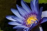 Water Lily in Na Aina Kai Botanical Gardens and Sculpture Park  Kauai  Hawaii