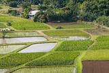 Taro Fields in Hanalei National Wildlife Refuge  Hanalei Valley  Kauai  Hawaii