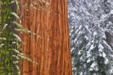 California  Giant Sequoia in Winter  Giant Forest  Sequoia National Park