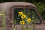 Tickseed Sunflower in Late Summer  and Old Abandoned Truck  Minnesota