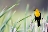 Wyoming  Sublette County  a Yellow-Headed Blackbird Male Straddles Several Cattails