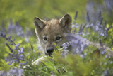 Gray Wolf Pup Hidden in Flowers  Montana