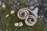 Norway  Barents Sea  Svalbard  Spitsbergen  Fakse Bay Rolled Birch Bark with Mountain Avens