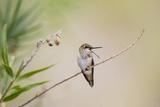 Rufous Hummingbird Immature Male Vocalizing