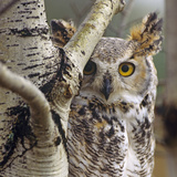 Great Horned Owl Pale From  British Columbia  Canada