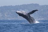 California  La Jolla Humpback Whale Breaching
