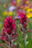 Colorado  Jones Pass  Alpine Wildflowers with Paintbrush
