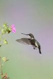 Ruby-Throated Hummingbird Female Feeding