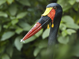 Male Saddle-Billed Stork with a Feather on its Bill  Kenya  Africa