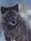 Gray Wolf in Snow  Montana