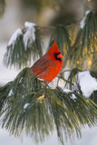 Northern Cardinal Male in White Pine Tree in Winter  Marion County  Illinois