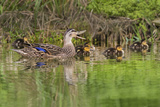 Mottled Duck Hen and Young Feeding