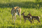 South Dakota  Custer State Park Pronghorn Doe and Fawns