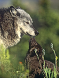 Gray Wolf with a Pup Licking its Muzzle  a Way to Ask for Food  Montana
