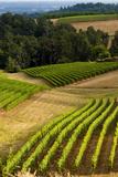 Oregon  Dundee Vineyard in Dundee Hills
