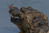 South America  Brazil  Pantanal Wetlands  Yacare Caiman and Butterfly on the Cuiaba River