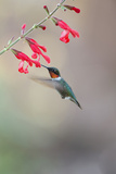 Ruby-Throated Hummingbird Male Feeding