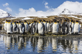 South Georgia Island  Salisbury Plains Group of Molting King Penguins Reflect in Stream
