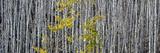Utah  Mostly Bare Aspen Trees on Boulder Mountain