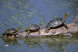 Western Painted Turtle  Two Sunning Themselves on a Log  National Bison Range  Montana  Usa