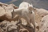 Colorado  Mt Evans Mountain Goat Kids Playing