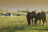 Horses Grazing before Sunset  Philmont Scout Ranch  Cimarron  New Mexico