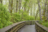 Washington State  Sandpiper Trail Boardwalk in Alder Tree Grove