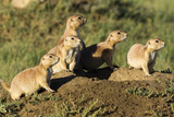 Prairie Dog Family in Theodore Roosevelt National Park  North Dakota  Usa