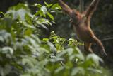 Orangutan Swinging Through the Trees  Sabah  Malaysia