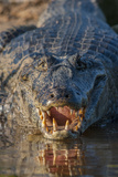 South America  Brazil  Cuiaba River  Pantanal Wetlands  Yacare Caiman with Open Mouth