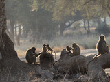 Africa  Zambia Troop of Baboons Resting