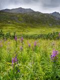 Alaska  Hatchers Pass  Fireweed in Bloom