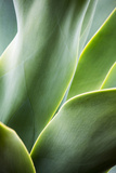 Hawaii  Maui  Agave Plant with Fresh Green Leaves