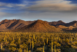 Saguaro Cactus Dominate the Landscape at Saguaro National Park in Tucson  Arizona  Usa
