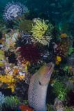 Indonesia  Bima Bay Moray Eel and Coral