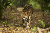 Mexico  Panthera Onca  Jaguar Walking in Forest