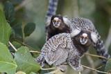 Brazil  Sao Paulo  Common Marmosets in the Trees