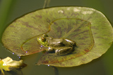 Frog on a Lily Pad at a Pond in Amador County  California