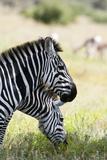 Common Zebra  Samburu  Kenya