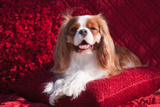 Cavalier Lying on Red Pillow