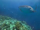 Whale Shark over Reef  Cebu  Philippines