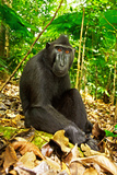 Asia  Indonesia  Sulawesi Crested Black Macaque Adult Relaxing in Rainforest
